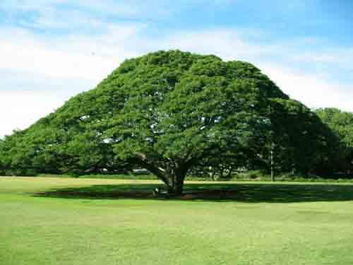 Pohon Trembesia